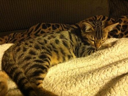 Alottaspotz - Savannah Kittens for sale in MD