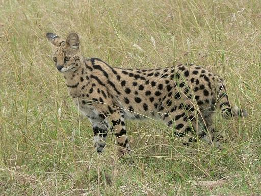 Wild African Serval